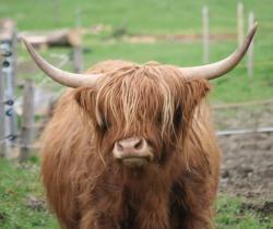 Vaches ecossaises 74991